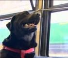 Conoce a la perrita que toma el autobús solita para ir al parque