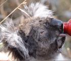 Koala acepta ayuda humana después de devastador incendio