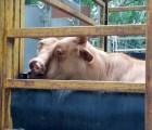 ¡Conozcan a la poderosa vaca de 2 cabezas!