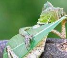 La foto del lagarto rockero ¿real o falsa?