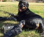 El perrito que pudo volver a caminar gracias a cuatro prótesis
