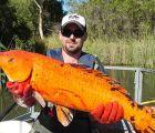 Encuentras peces mutantes 10 veces más grandes de lo normal