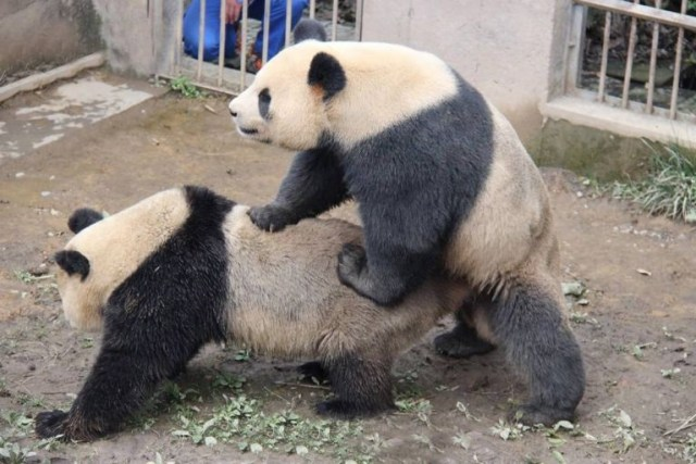 pandas sex1
