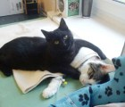 Conozcan al gato que se dedica a cuidar animales enfermos