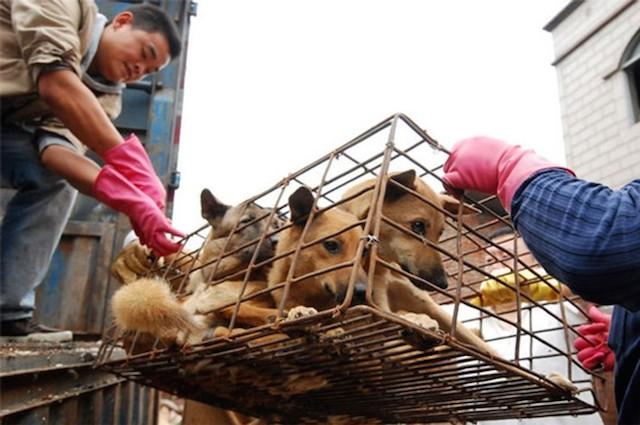 Resultado de imagen de perros en china para comerselos