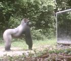 Animales salvajes y su reacción ante un espejo