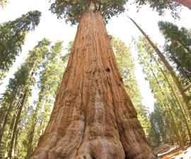 General_Sherman_tree_looking_up_