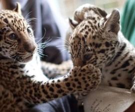 jaguarcitos2
