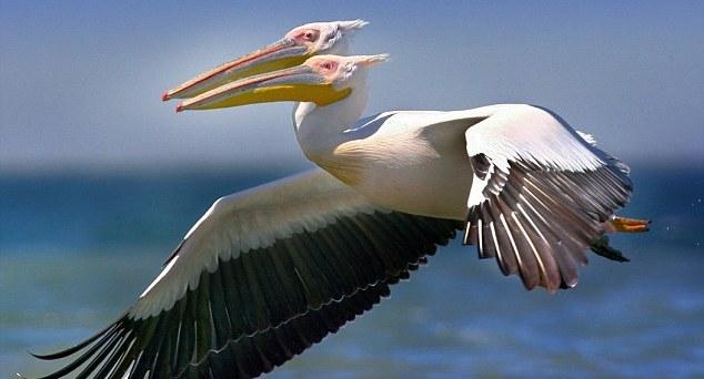 pelicanodoscabezas