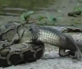 pelea_serpiente_cocodrilo_