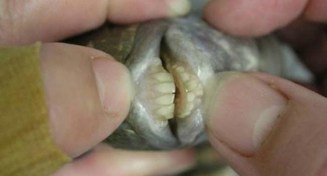 pez-dientes-dest