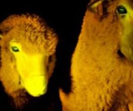 ovejas-fluorecentes