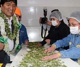 Evo Morales fabrica coca