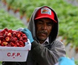 Strawberry Workers in Oxnard