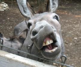 burro_politica