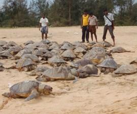 tortugas india