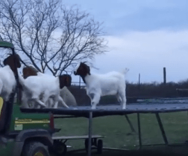 cabras trampolín