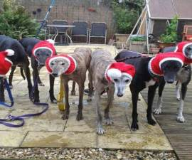 PIC FROM CATERS NEWS - (PICTURED: Rescue dogs with their wolly hats on ) - Meet the mum who spends more than 4,000 hours knitting Christmassy jumpers for abandoned dogs. Jan Brown, 52, from Seaburn, Sunderland, has hand-knitted more than 300 of her festive designs to give a warm woolly gift to homeless greyhounds at Christmas. Each jumper can take the up to 20 hours to complete and are sent to pet rescue centres across the country. Since starting five years ago she has made Father Christmas outfits, antlers to even woolly hats, scarves and snoods for dogs as well as reconditioning old blankets into coats. SEE CATERS COPY.