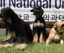 snuppy-perro-clonado-3