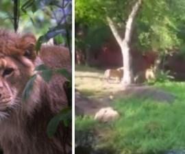 borracho-leones