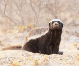 honey-badger-2