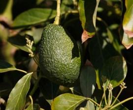 aguacate-fruta-avocado-cosecha-plantacion