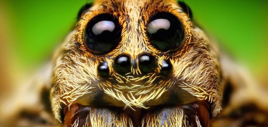 Araña saltadora - Close up