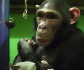 Gatito y chimpancé - Mejores amigos