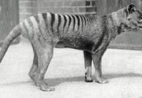 Animal extinto - Lobo marsupial