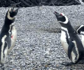 Devuélveme a mi chica: pingüinos pelean a muerte por el amor de una hembra