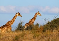 Jirafas en Peligro de Extincion