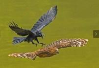 National Geographic - Cuervo depredador