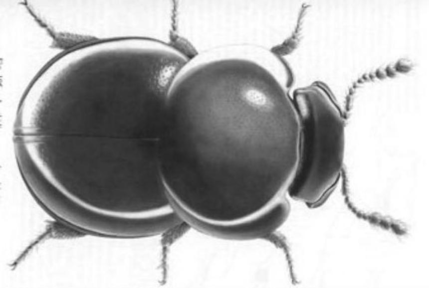 Escarabajo nombrado en honor a Dick Cheney