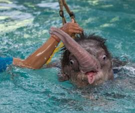 elefante-bebe-nadando