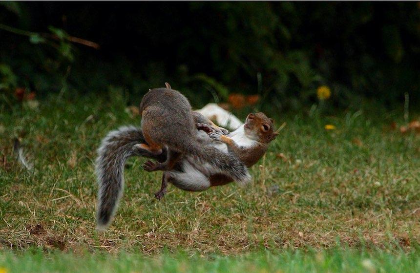 Pelea de ardillas - Golpes