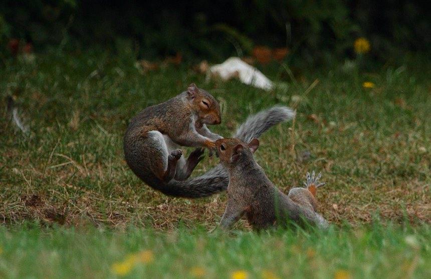 Pelea de ardillas - Salto