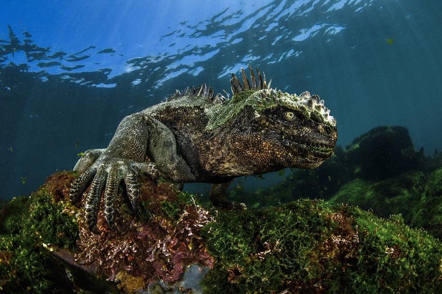 Iguana bajo el mar