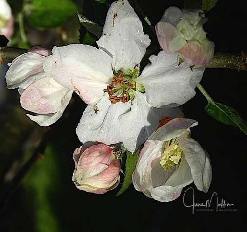 WM-AppleBlossom