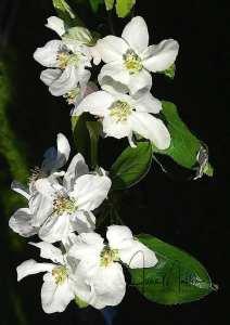 watermarkedappleblossoms