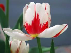 tulip-cu