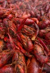 Crawfish as far as the eye could see...at the Coconut Grove Seafood Festival