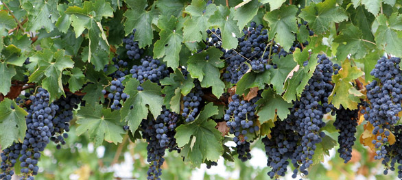Wine grapes THE GRAPES Helps In Weight Loss