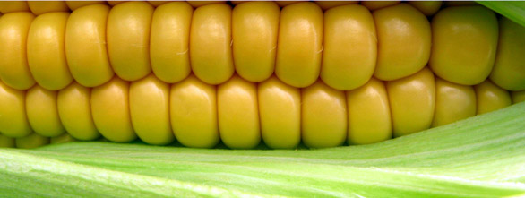 sweet corn The CORN Health and Nutritional Information