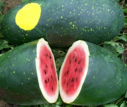 Small Of Moon And Stars Watermelon