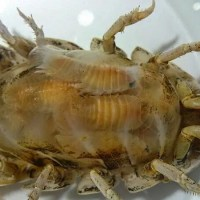 Six things I learned about Giant Isopods while Sizing Ocean Giants