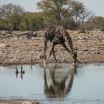 A44 Etosha Zebra