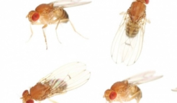 Fruit flies are a cheap and convenient model mechanism to study effects of weightlessness on living organisms (Credits: iStockPhoto).