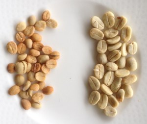 Coffee beans from the same trees, a year apart after pruning and fertilising.