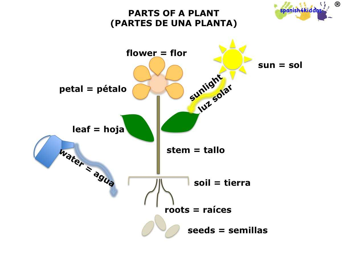 Spanish lesson on plants Learning photosynthesis Spanish4Kiddos