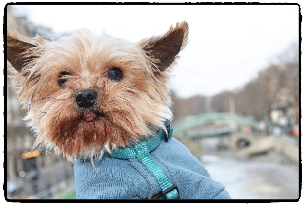 Dog selfie! Chou Chou : therapy yorkie for children with autism at LE CHEMIN ABA, learning center for children with autism in Paris, France.